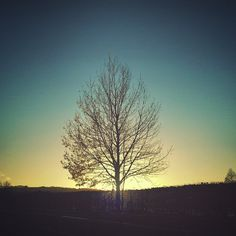 An #evening #tree … #sunset #trees #solo_tree #poplar #baretrees #branches #Wales #NewtownPowys - LinanDara's Art-n-Folk
