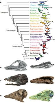 In Skull Analysis, Charting the Path From T. Rex to Falcon  By JAMES GORMAN  Published: May 31, 2012   It is well accepted that birds evolved from dinosaurs, but the extent of the transformation still inspires wonder and awe. And new research.
