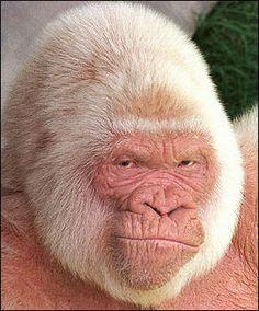 Albino gorilla - Snowflake was an albino gorilla. He is the only known albino gorilla so far, and was the most popular resident of the Barcelona Zoo in Spain. Gorila Albino, Primates, Mammals, Rare Animals, Animals And Pets, Funny Animals, Small Animals, Wild Animals, Beautiful Creatures