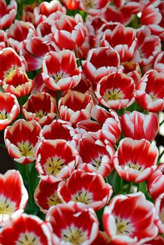 New amazing flowers pics every day, be the first to see them! Fantastic flowers will make your heart open. Tulips Garden, Tulips Flowers, All Flowers, Amazing Flowers, Daffodils, Fresh Flowers, Colorful Flowers, Spring Flowers, Planting Flowers