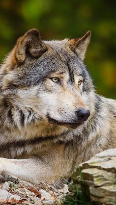 wolf_stone_predator_72509_640x1136 | Flickr - Photo Sharing!