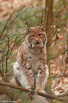 female Eurasian lynx Lynx lynx sitting on a log, Slovenia by Miha Krofel**