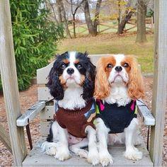 A pair of adorable Cavalier King Charles Spaniels #cavalier…