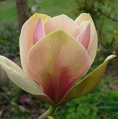 Magnolia 'Sunsation' Cold Hardiness: Zone 4a Flowers: gold and chartreuse (late April) Height: 15' Light: sun-part shade