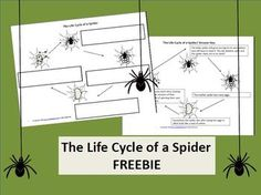 Life cycle of a spider FREEBIE. Anyone looking for something spooky, or creepy crawly this October? Studying Charlotte's Web? This is part of my larger product about bugs. If you want to check that out as well, then you will find the link in the freebie. Enjoy!