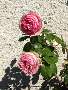 Roses de Manziat