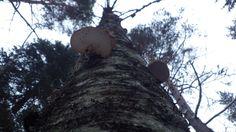 The dead birch.