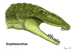 Prehistoric Crocodile Pictures: Erpetosuchus. Modern crocodiles can trace their lineage back 200 million years to Erpetosuchus, a small, bipedal insectivore that prowled the swamps of North America and Europe during the late Triassic period.