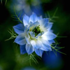 Love in a Mist!!