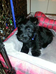 Scottish terrier *love*