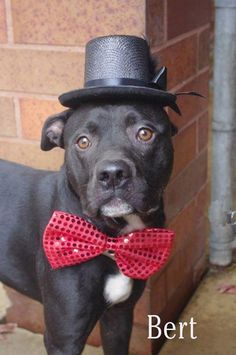 "FOUND OCTOBER 31ST TIED TO A DOOR OF A VETS OFFICE>>>NOW NEEDS NEW HOME! MEET OUR SWEET DAPPER  BOY ""BERT""/BOXER MIX...COME DOWN TO MAHONING ADOPTION CENTER & GET TO KNOW THIS LOVABLE FELLA!!!! YOUNGSTOWN, OHIO http://www.petfinder.com/petdetail/27724136/"