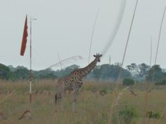 Giraffe on the landing strip. Botswana101.com #GiraffeOnRunway #GiraffeOnLandingStrip