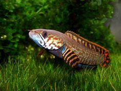 30 Ide Channa Fish Ikan Ikan Akuarium Akuarium