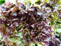 Buy salad seeds from Sarah Raven and grow your own at home. We have a wide range of tried and tested salad and lettuce seeds for the perfect home-grown salad.