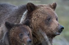 Mama Grizzly and Cub, A Yellowstone sow known as Blaze. This is one of Darryl Hunter's photographs. They are copyrighted. Please go to his website to order prints & see more great wildlife photos!  Mama Grizzly and Cub, A Yellowstone sow known as Blaze  Mama Grizzly and Cub, A Yellowstone sow known as BlazeMama Grizzly and Cub, A Yellowstone sow known as Blaze