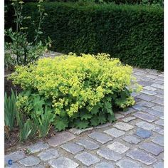 Alchemilla mollis | Johnstown Garden Centre, Ireland