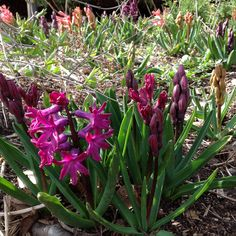 Magenta and salmon hyacinths are just beginning to bloom in our woodland flower bed.