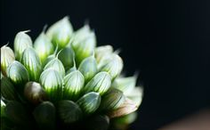 Something special about this succulent: silvery bulbous translucent tips. [ Haworthia cooperi v.pilifera ]