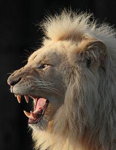 ♕ M - White lion