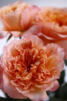 Wholesale fresh carnations direct from the farm. Place your orders today David Austin Roses, Carnations, Flowers, Plants, Fresh, Florals, Planters, Flower, Blossoms