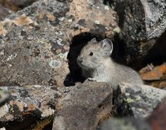 """Baby pika - Pikas are small mammals related to rabbits and hares. They are sometimes known as """"whistling hares"""" due to a very high-pitched alarm call. They spend the summer collecting and storing food to eat over the winter in a personal haypile of dried vegetation."""