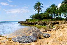 A honu getting his Suntan on in Hawaii warming his body temperature.  Aloha
