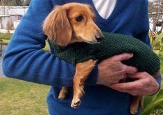 Dog Sweater Pattern, Jumper Knitting Pattern, Knit Dog Sweater, Dog Pattern, Dog Sweaters, Easy Knitting, Dachshund Sweater, Mini Dachshund, Dachshund Puppies