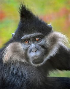 Don't touch the hair! This well groomed Black Mangabey looks like he could've just stepped out of the salon! (photo: Ion Moe)