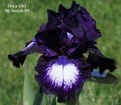 Iris ORCA