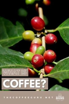 I know you're probably thinking... Coffee is that delicious beverage that gives you a nice boost in the morning. That is true, but did you know that coffee is a fruit that comes from the coffea tree? Learn more about this majestic plant today! #coffeetree #whatiscoffee #coffee #coffea #coffeebeans #coffeeplant #coffeebean Types Of Coffee Beans, Buy Coffee Beans, Arabica Coffee Beans, Coffee Type, Best Coffee, Different Kinds Of Coffee, Coffee Guide, Standard Coffee, Coffee Today
