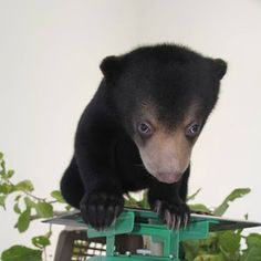 Help rehabilitate this cub. Free the Bears Fund rescued her from exploitation in Cambodia, but she still needs help. Subscribe this month to support her rehabilitation with a Cub Care Pack.