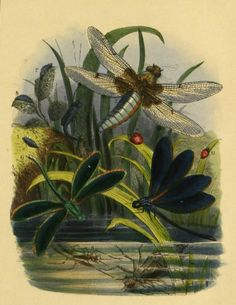 Dragonflies illustration taken from 'The Butterfly Vivarium' by H. Published 1858 by William Lay. Dragonfly Illustration, Illustration Art, Illustrations, Picture Wall, Picture Frames, Beautiful Butterflies, Botanical Art, Natural History, Landscape Art