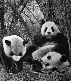 Panda by paullung.deviantart.com on @deviantART