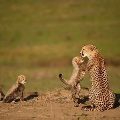 Nature Animals, Animals And Pets, Baby Animals, Cute Animals, Beautiful Cats, Animals Beautiful, Baby Cheetahs, Cheetah Cubs, Serval Cats