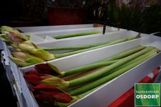 Zet amaryllissen in een mooie glazen vaas voor een vredig aangekleden dinertafel tijdens de kerstdagen. Gesneden amaryllissen en WAX amaryllis bollen vind je samen met heel veel andere DIY kerstdecoratie en kerstgroen in ons tuincentrum in Amsterdam. Celery, Amsterdam, Wax, Vegetables, Food, Seeds, Essen, Vegetable Recipes, Meals