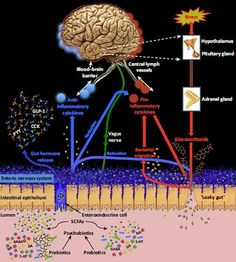 Psychobiotics are living organisms that, on sufficient ingestion, produce a health benefit in patients with psychiatric, or neurological, illnesses. Research to understand the impact of psychobiotics on the gut–brain axis, …