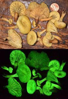 'Ghost Mushrooms' Rediscovered in Brazil | Glow-in-the-Dark Mushrooms | LiveScience