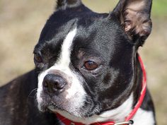 """""""Facts"""" You Need to Know About Boston Bull Terrier  very odd article especially the last line"""