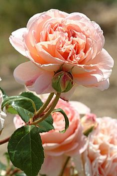 Abraham Darby - one of David Austin's older roses but still very popular I planted this rose on my back trellis can't wait to see it!