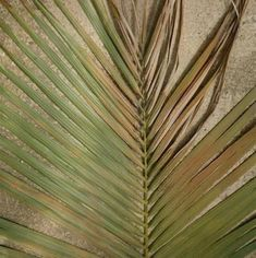 Move plant from direct to indirect sunlight, prune the affected leaves, and resume deep, infrequent waterings to promote healthy root growth. Avoid overfertilizing, as this will exacerbate the burn. Indoor Palm Trees, Indoor Tropical Plants, Indoor Palms, Palm Tree Plant, Outdoor Plants, Trees To Plant, Indoor Outdoor, Plant Leaves, Air Plants