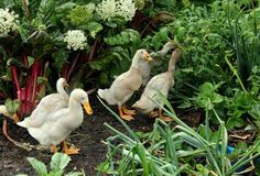 How to successfully manage ducks in the vegetable garden. I have been very successful in...