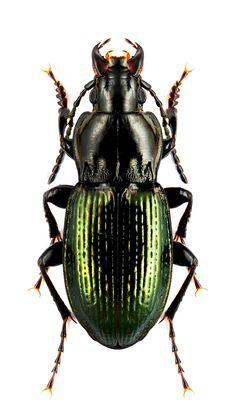 Pterostichus foveolatus