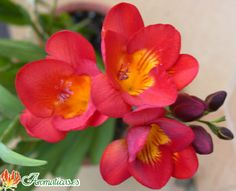 Salmon pink freesias add beautiful color and scent.
