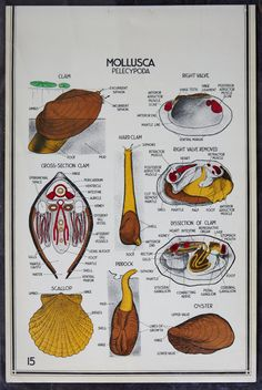 """Vintage Biology Classroom Wall Chart - Shellfish - Clams and Scallops 24"""" x 36"""" https://www.etsy.com/listing/153636371/vintage-biology-classroom-wall-chart?ref=sr_gallery_7_search_query=biology+chart_order=most_relevant_view_type=gallery_ship_to=US_max=100_page=5_search_type=all_facet=biology+chart"""