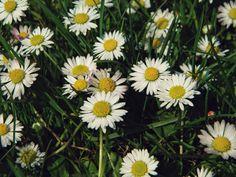 #flowers #daisy #summer #garden #wildflower