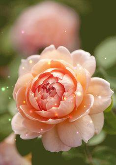 Rose animace