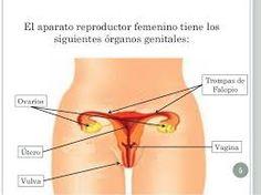 Resultado de imagen para sistema reproductor femenino y masculino
