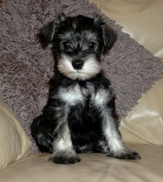 XX Ready Now - only 1 boy & 1 girl left XX Stunning litter of 6 Pepper & Salt KC registered Miniature Schnauzer puppies for sale. Puppies have been BV Miniature Schnauzer Puppies, Schnauzer Puppy, Cute Puppies, Cute Dogs, Miniature Dog Breeds, Animals And Pets, Cute Animals, Most Popular Dog Breeds, Dog Teeth