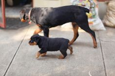 Rottweiler and puppy Rottweiler, Puppy Love, Dog Cat, Handle, Puppies, Cats, Animals, Cubs, Gatos