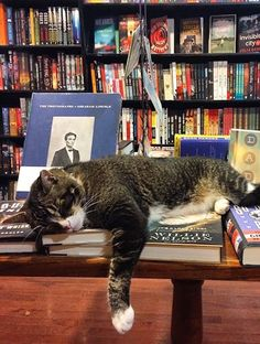 "Bookstore Cats You'll Want to Cuddle With"" Every bookstore and library needs a resident feline. Cute Kittens, Cats And Kittens, Crazy Cat Lady, Crazy Cats, Animals And Pets, Cute Animals, Cat Reading, Gatos Cats, Cat Sleeping"